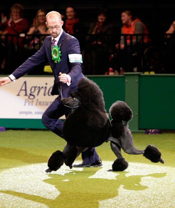 Bouffant Poodle Ricky Is Top Dog At Crufts 2014 Poodle Black