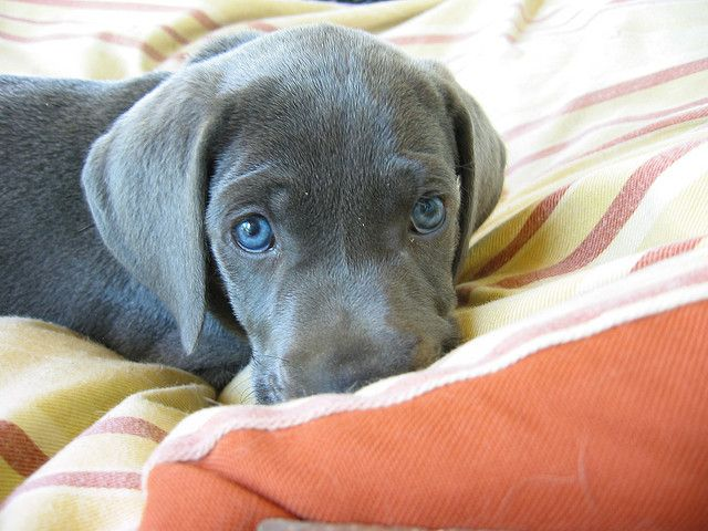 Silver Gray Weimaraner With Beautiful Blue Eyes Weimaraner