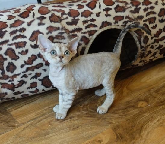 Wonderful Devon Rex Kittens For Sale In Padstow Cornwall Devon Rex Cats Devon Rex Kittens Rex Cat