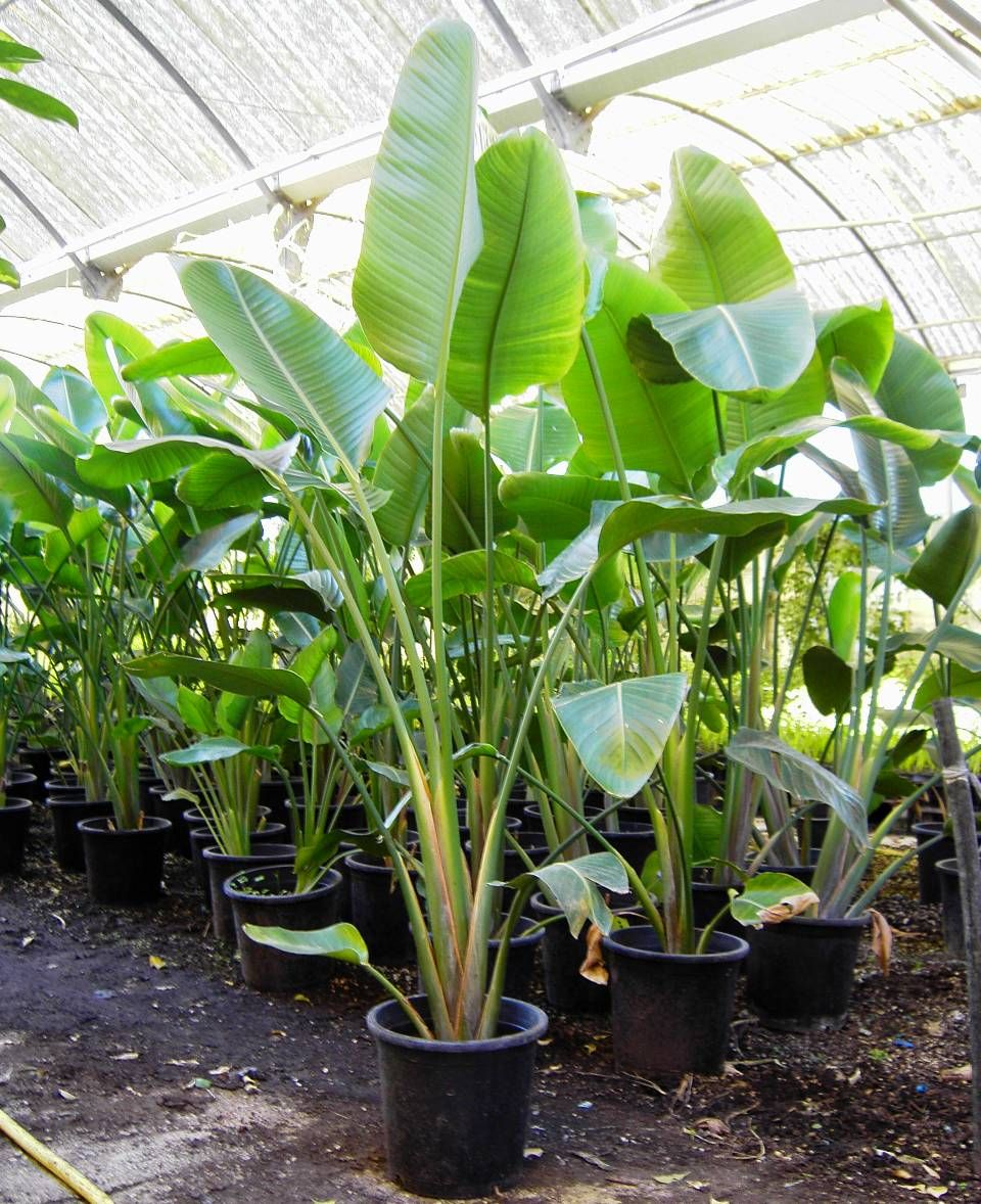 a beautiful tropical indoor plant with broad leaves resembling the