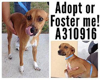 San Antonio, TX - Chihuahua Mix. Meet BELLA, a dog for adoption. http://www.adoptapet.com/pet/11763023-san-antonio-texas-chihuahua-mix
