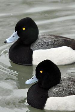 ghrebaahd:  Lesser Scaup Ducks