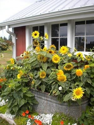 Sunflowers in old water trough by loraine