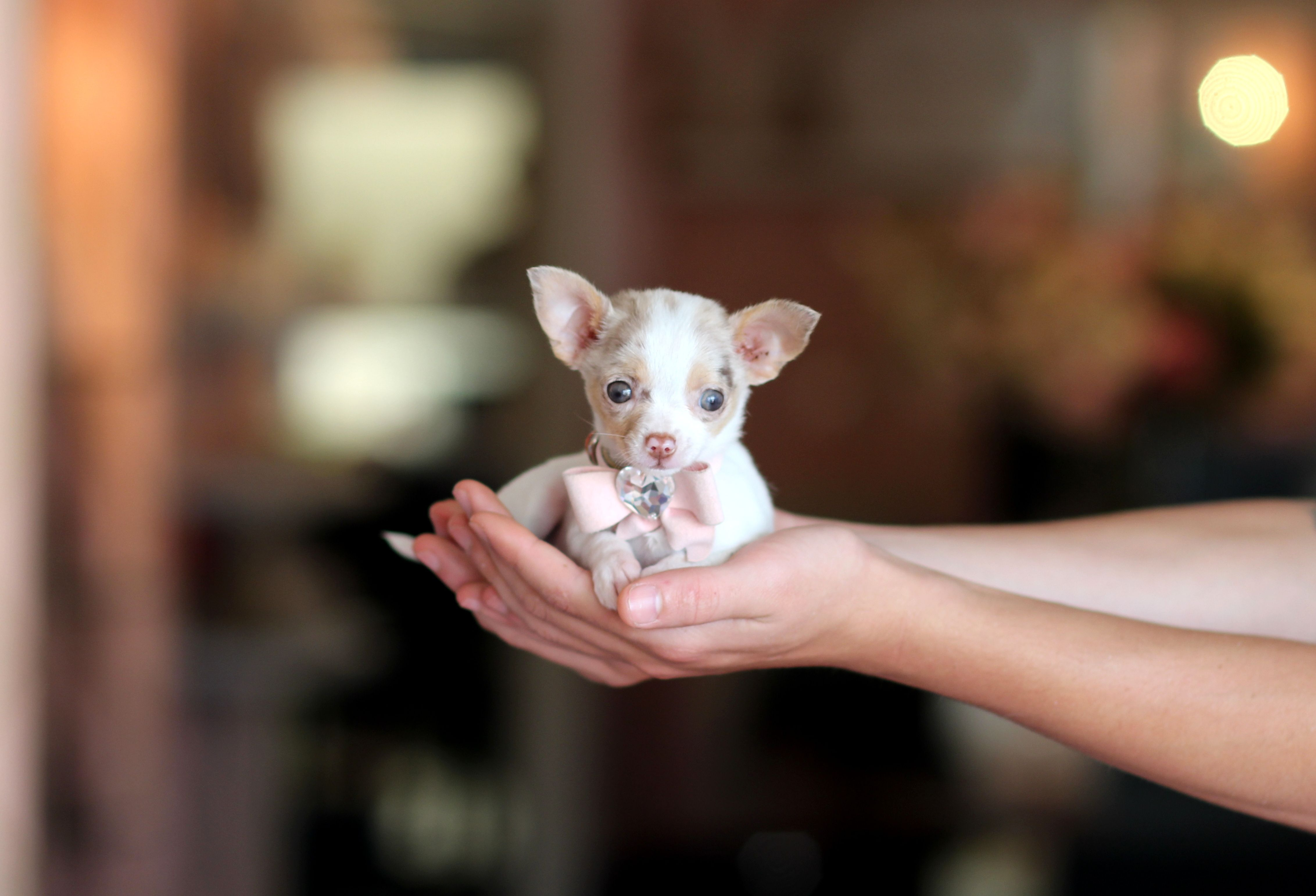 Teacup Chihuahua Bring This Perfect Baby Home Today