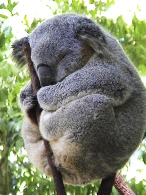 Oh my goodness...pudgy koala!