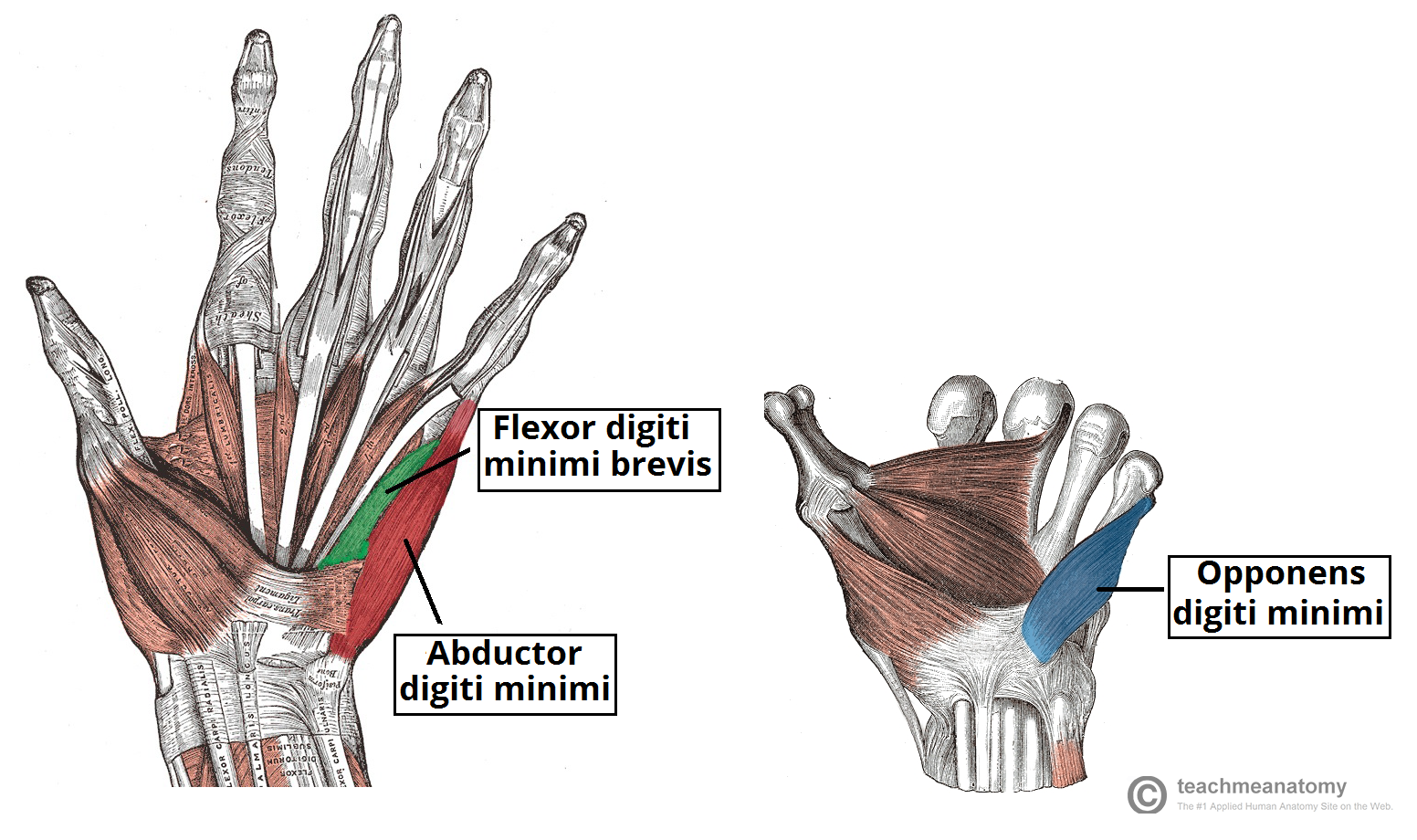 Carpus bones pinterest coloring muscle and hand anatomy - Muscles Of Palm Color Google Search Hand Anatomythe