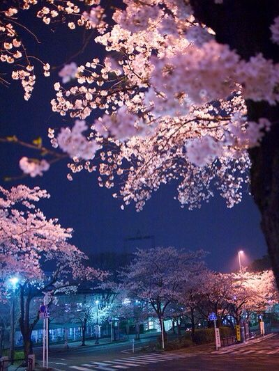 Cherry Blossoms At Night Cherry Blossom Japan Blossom Trees Nature Photography