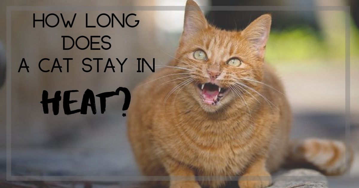 How long does a cat stay in heat? I Love Veterinary