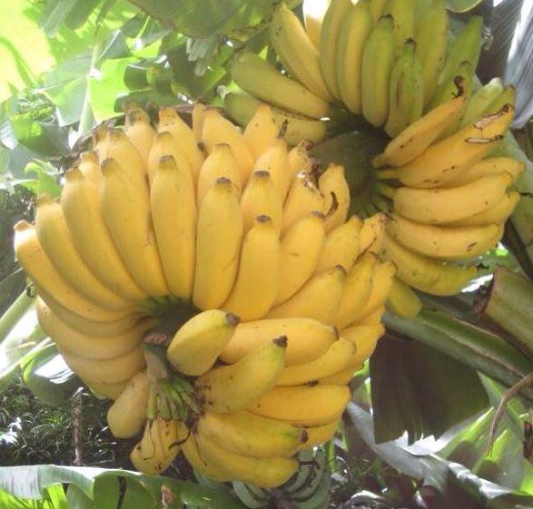 Real bananas