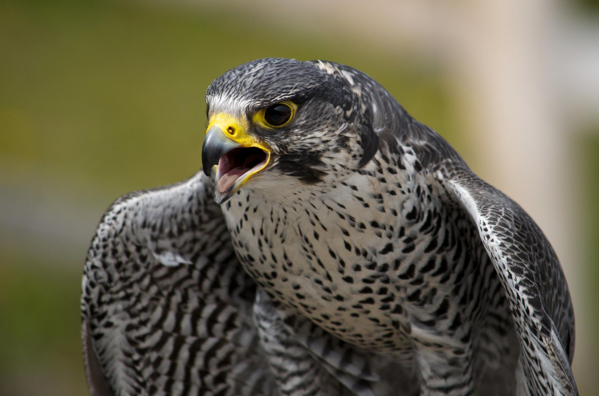 Angry Falcon This Falcon Was Photographed During A Greifvogelschau In Hohe Peregrine Falcon Birds Of Prey Falcon