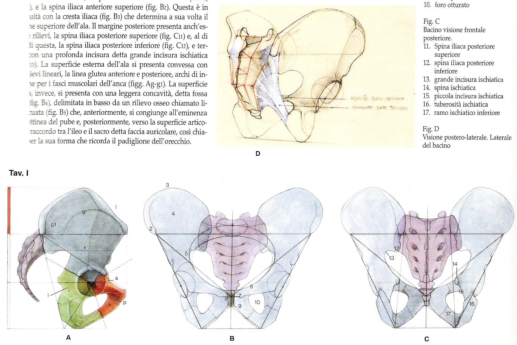 Pin by MrOkin on Anatomie - Bas du corps - Homme   Pinterest ...