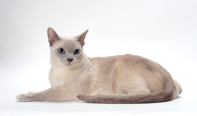 Tonkinese Cat Breed Information Tonkinese Cat Tonkinese Kittens Cat Breeds