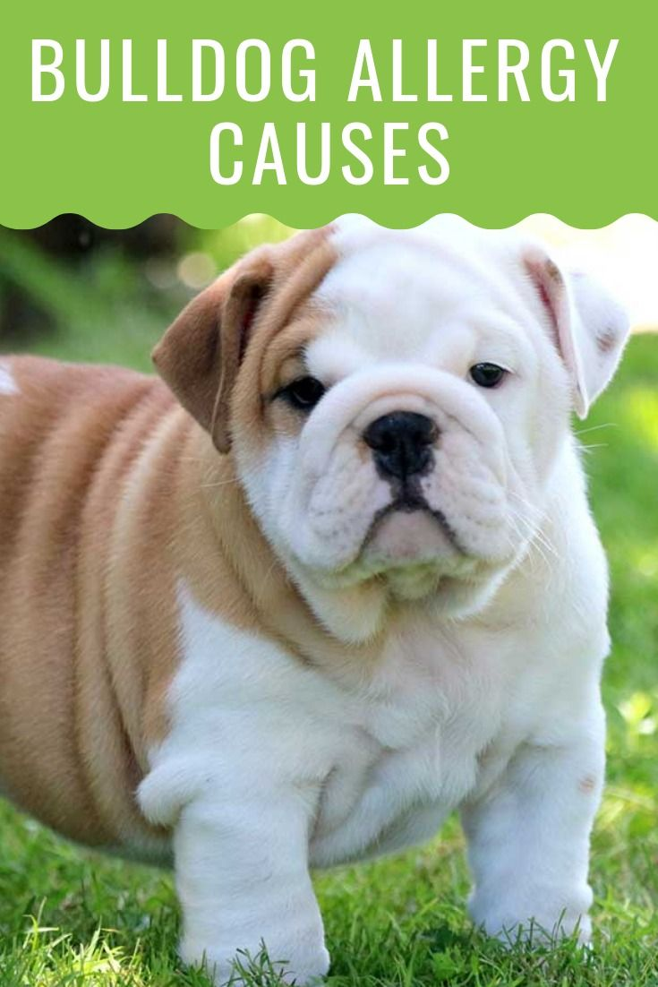 Bulldog allergies causes and treatments dog allergies