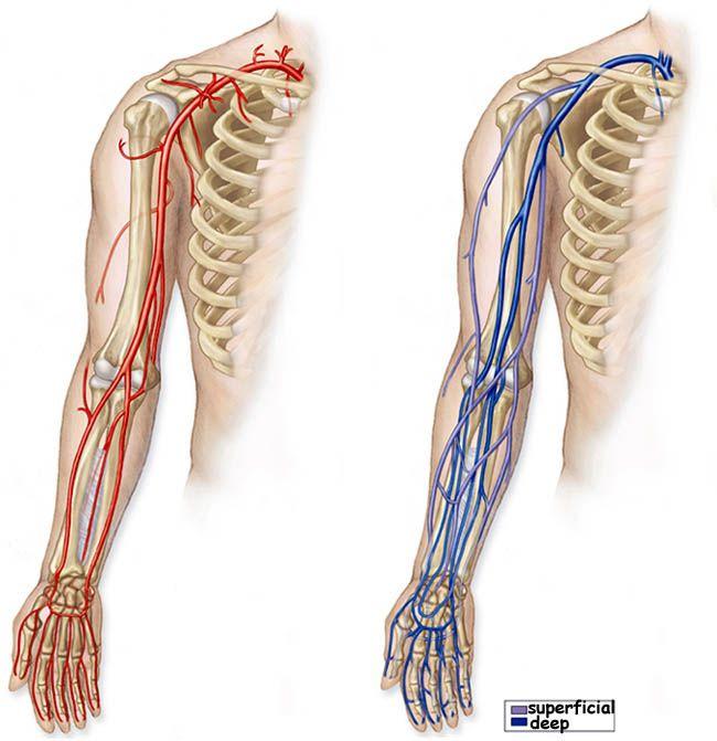 blood vessels in the arm - Google Search   Nursing school blah, blah ...