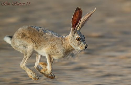 Arabian Hare In Qatar الأرنب البرية في قطر Animals Hare Arabians