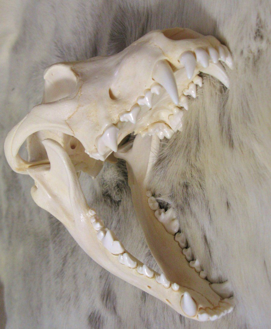 deviantART: More Like Wolf Skulls Reference 11 by lamelobo ...