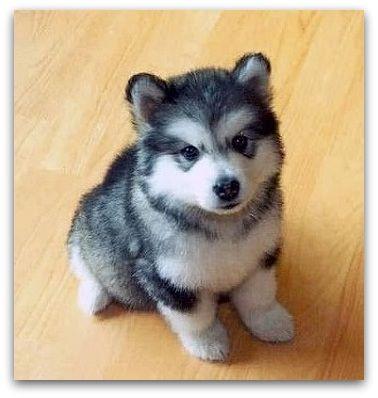 Home Pomskydog Little Husky Cute Animals Puppies