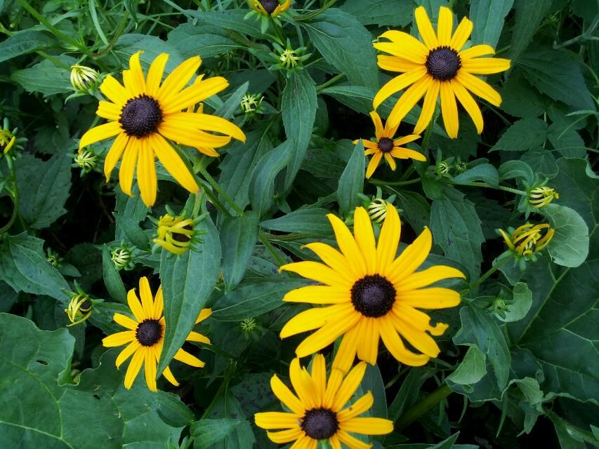 Blackeyed Susans are a burst of color in my garden.