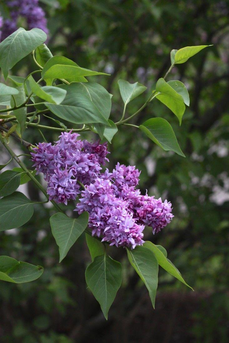 syringa vulgaris 'jean bart' has a striking double flower in dark