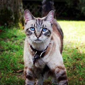 Harley Siamese Mix Cute Animals Animals Feline