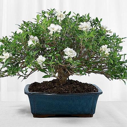 Our Deluxe Gardenia Bonsai Is A Sight To Behold Perfect For A