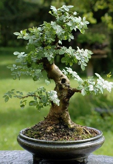 fraxinus excelsior bonsai google search bonsaimacetas bonsai bonsai baum bonsai und pflanzen. Black Bedroom Furniture Sets. Home Design Ideas