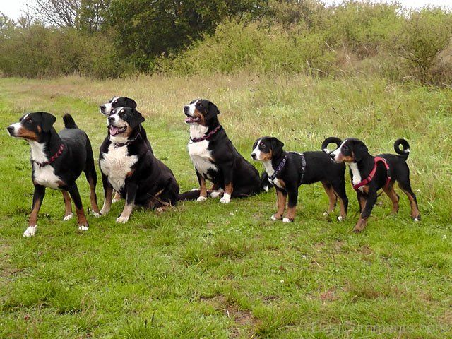 Appenzeller Sennenhund Dog Breeds Pet Dogs Cute Dogs