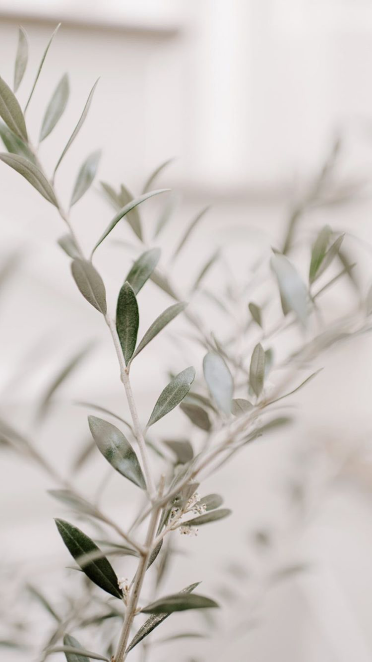 Olive Branch. wallpaper, phone wallpaper, stock photos