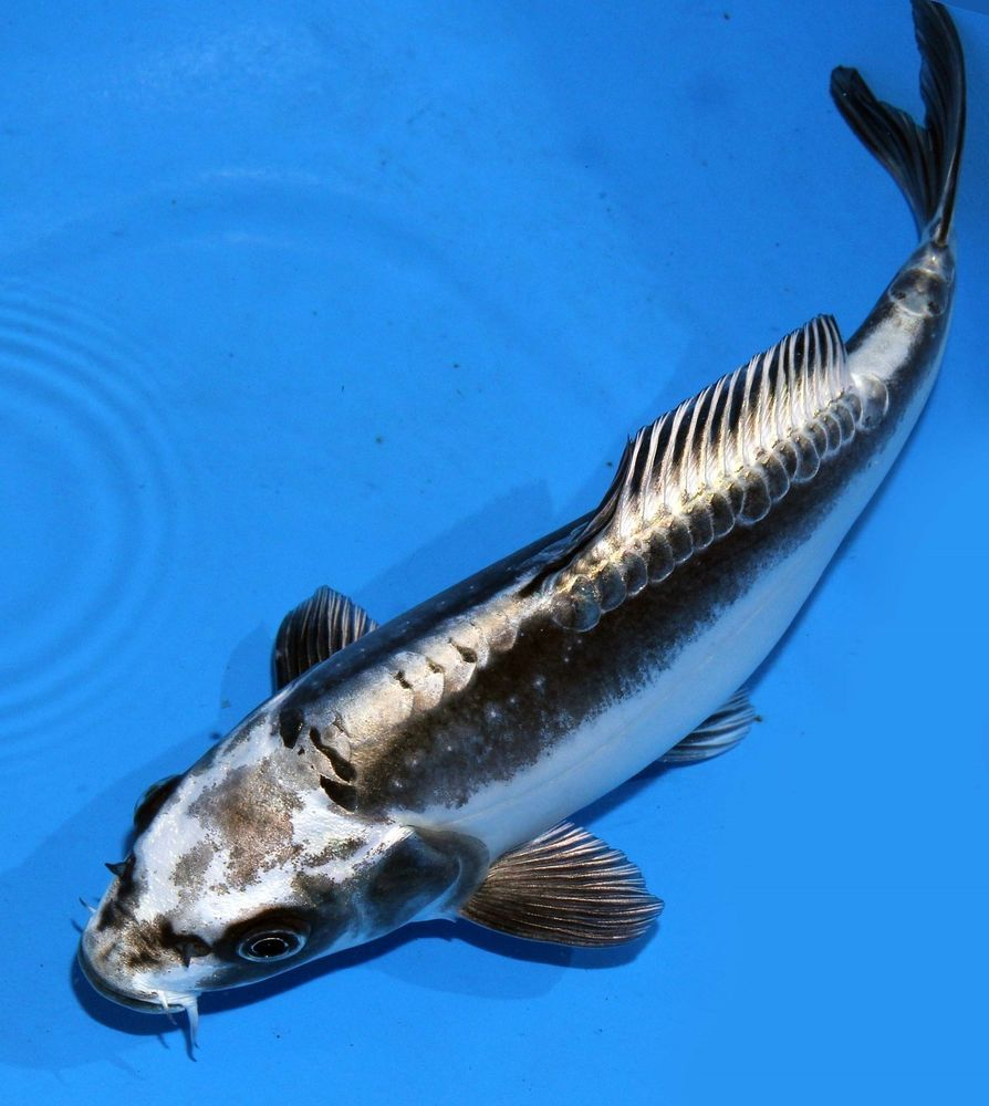 Live koi fish 8 doitsu scaleless grey kikokuryu ghost for All black koi fish
