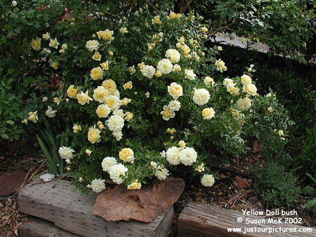 комнатная роза Еллоу Дол