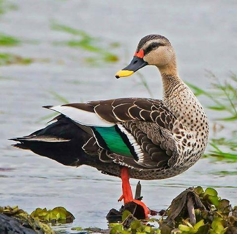 Spot-billed Duck (Anas poecilorhyncha) | birds and nests | Pinterest ...