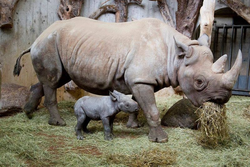 East African Black Rhino at Zoo Zurich