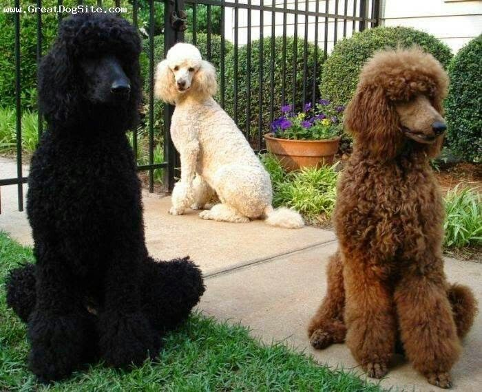 Pin By Elaine Dreger On Too Cute Poodle Dog Standard Poodle
