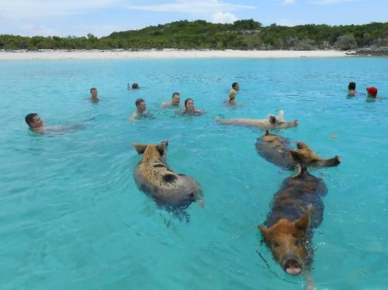 Swimming With The Pigs In Grand Exuma Love