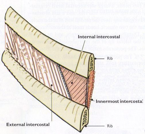 intercostal muscles | intercostal%20muscles.jpg