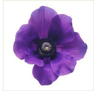 Greek Mythology Flowers Anemone