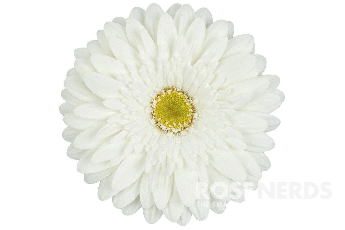Wholesale White Gerbera Daisies Bulk White Gerbera Daisies Wedding White Gerbera Daisies Gerbera Daisy Wedding Daisy Wedding Gerbera