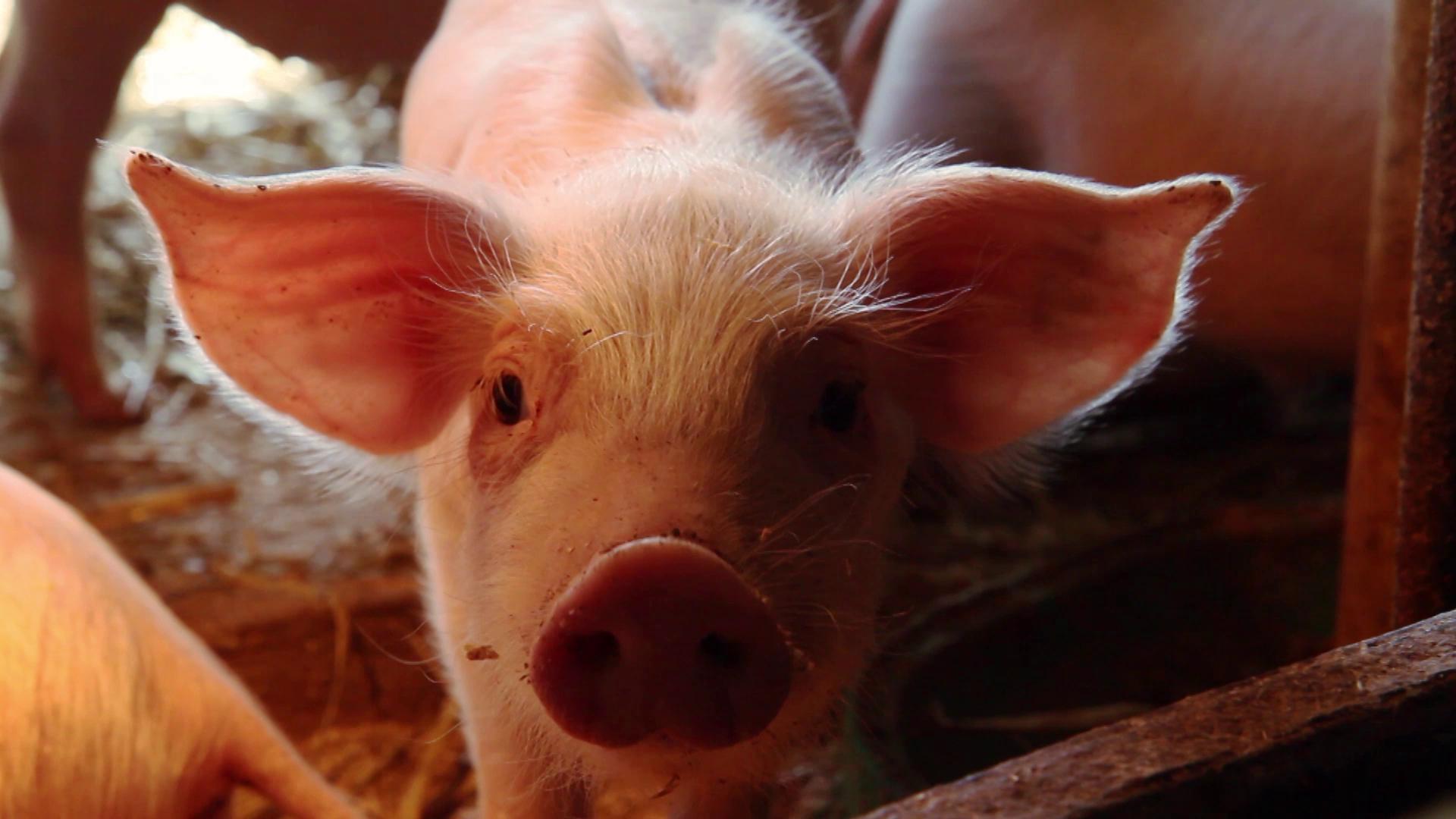 Mattilan luomutilan pikkupossu.  Lue lisää luomueläinten hyvinvoinnista täältä: http://luomunjuuret.fi/hyvaa-elaimille/