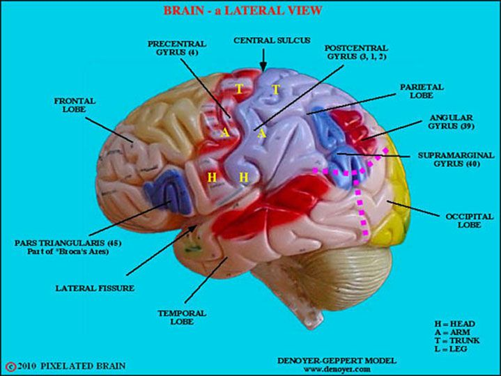 brain model labeled - Google Search | Anatomy/Physiology | Pinterest ...