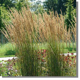 Ziergräser Im Garten Bilder calamagrostis x acutiflora karl foerster foersters garten