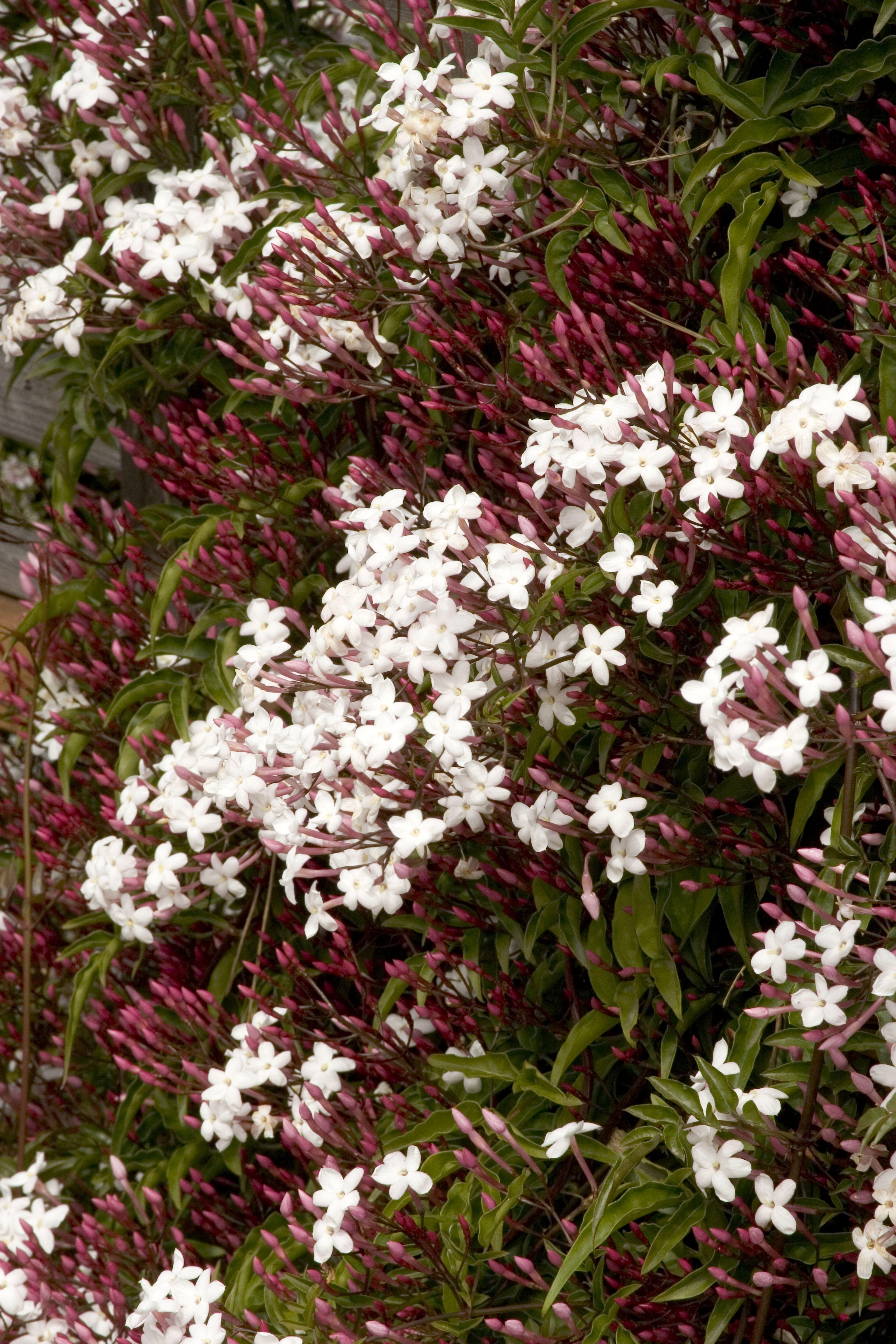 Pink jasmine monrovia pink jasmine garden wonders pinterest pink jasmine monrovia pink jasmine izmirmasajfo