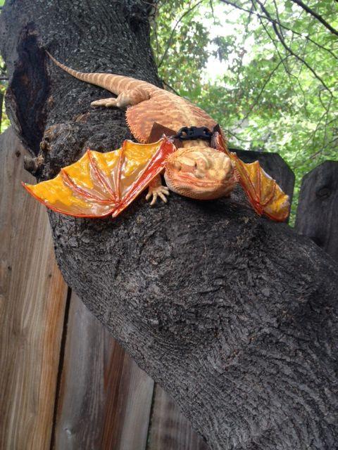 Dragon wings | reptile supplies | Pinterest | Reptile supplies ...