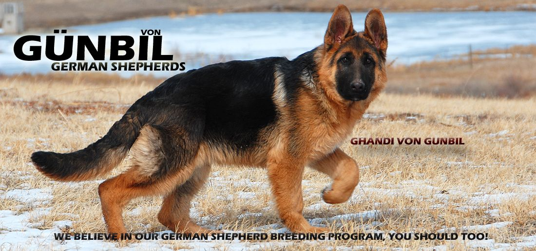 German Shepherds Are Not Only Great Companions They Are One Of