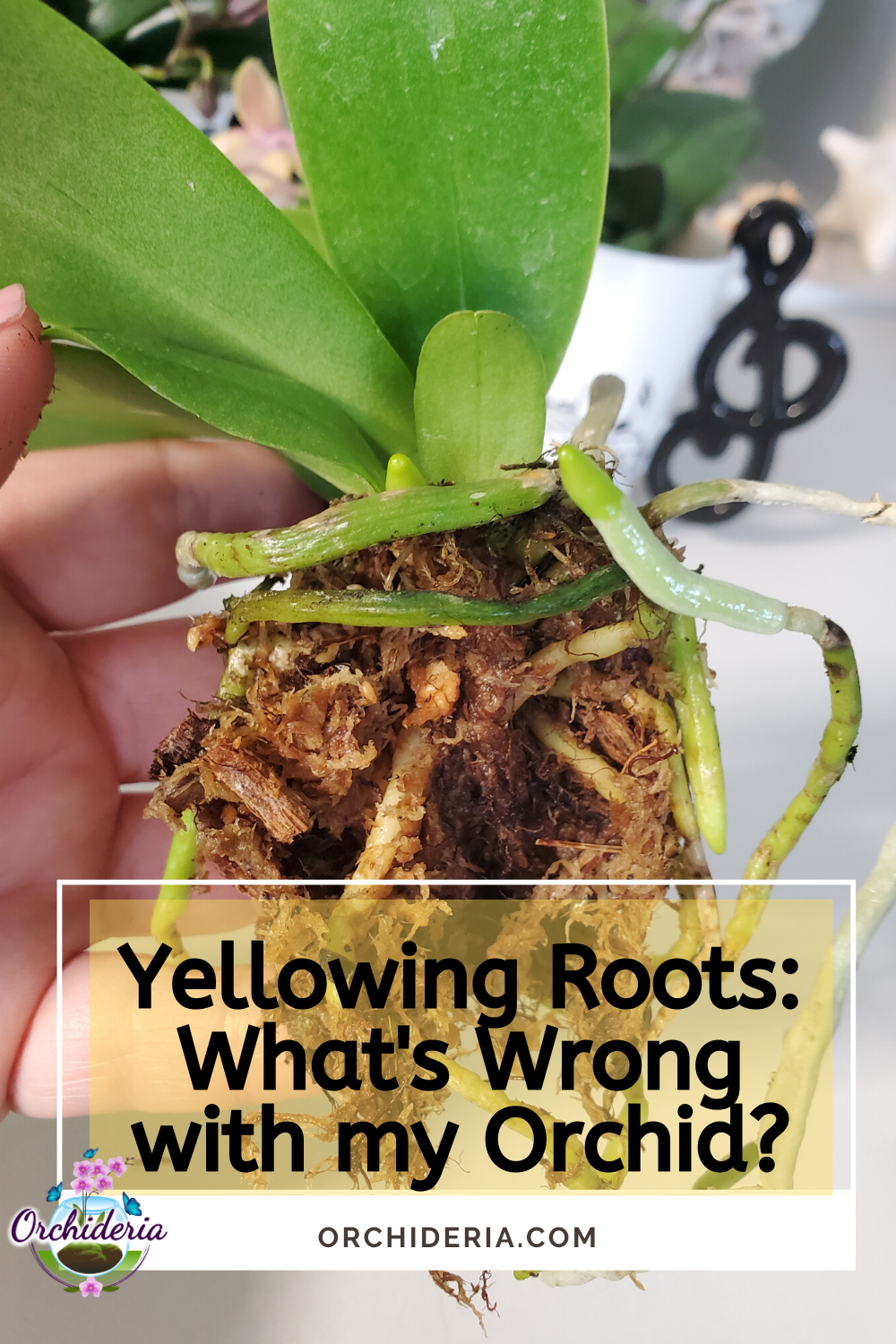 When You Start Repotting For The First Time You Can Come Across Roots In Several Conditions Crackly Brown Deathly Yellow In 2020 Orchid Roots Yellow Orchid Orchids