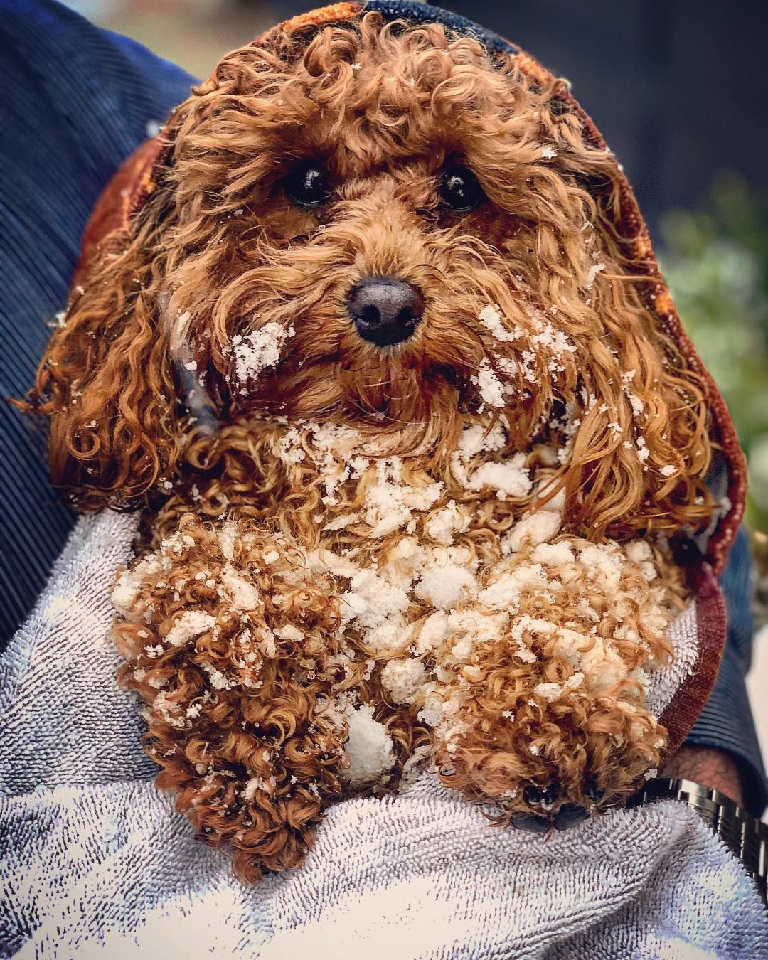 Are Pugs Hypoallergenic Hypoallergenic Dogs Hypoallergenic