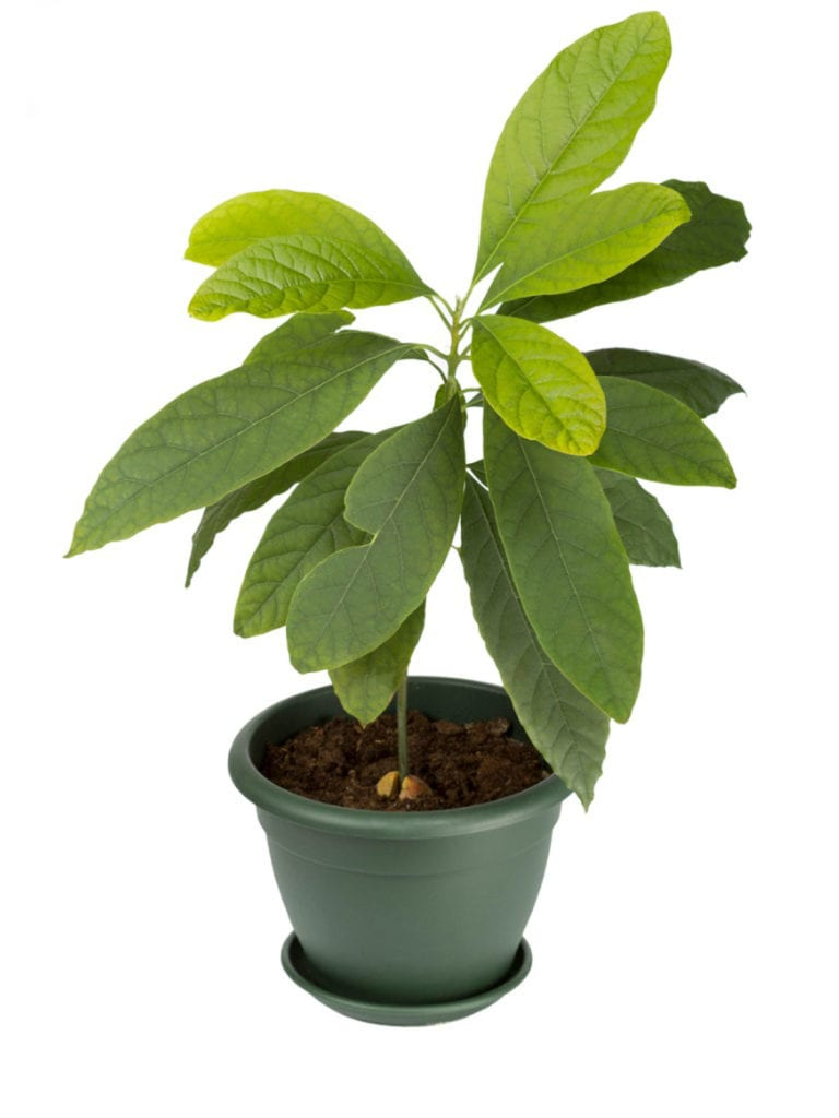 Growing Avocados In Containers And Indoor Avocado Plant Care Avocado Tree Care Avocado Plant Growing An Avocado Tree