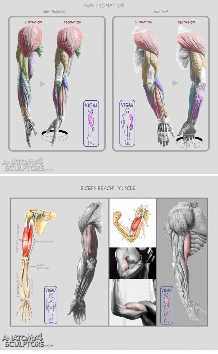Arms Anatomy. | Art | Pinterest | Anatomy, Arms and Anatomy reference