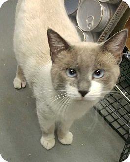 Dallas Tx Siamese Meet Big Toe A Cat For Adoption Siamese Mix Sweet Male Taken In With Infected Abcess Between Toes Sno Kitten Adoption Cat Talk Pets