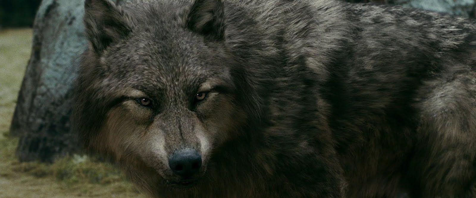 Twilight Wolves   Twilight Pack: Werewolf Transformation   fav