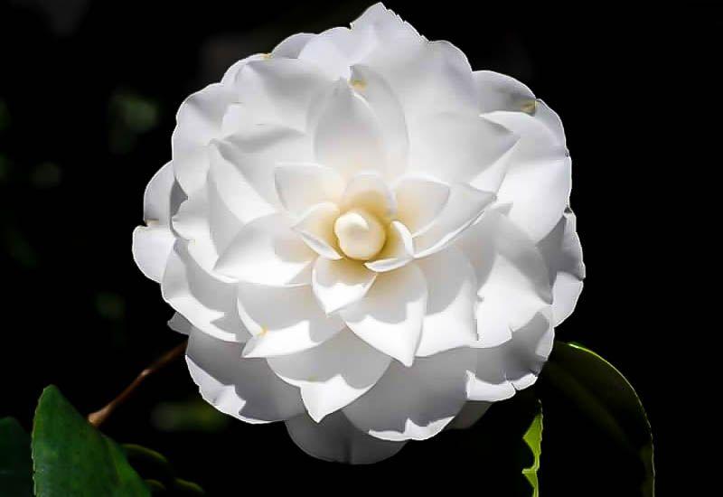 White By The Gate Camellia Camellia Plant Plant Sale Plants